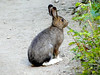 eio snowshoe hare white feet.jpg A snowshoe hare with its summer coat and white feet.