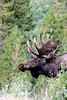 eio good bull moose.jpg A bull moose emerges from the undergrowth near Grand Lake on the west side of Rocky Mountain National Park.