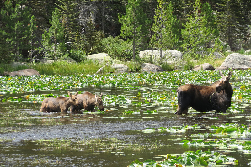 eio moose w twins.jpg A cow moose keeps her eye on her twin calves while feeding in the waters of Cub Lake Aug. 3 in Rocky Mountain National Park.