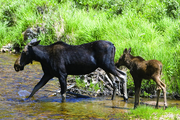 Moose Mom and Calf - J Clarke.jpg