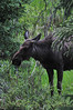 05EPStand Visible Moose.jpg A cow moose looks for food near the Colorado River on Tuesday. The biggest member of the deer family are easily the largest creatures in Rocky Mountain National Park,  but still manage to melt into the forests when needed.