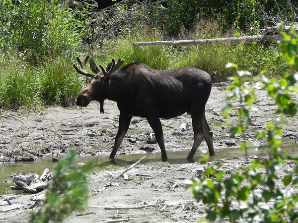 eio Fern Odessa Lakes MOOSE.jpg This bull moose was spotted about a half mile from the Fern Odessa lakes trailhead.