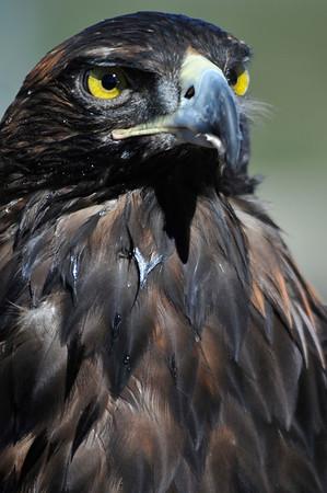 Glden Eagle