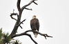 30EPNew Icon at the lake.jpg Walt Hester | Trail Gazette<br /> A bald eagle servays Lake Estes on Friday morning. The iconic birds eat primarily fish, easy pickings in the lake.