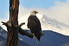 12EPNews Eagle over Lake.jpg A bald eagle purches over Lake Estes on Sunday. The eagle may have to wait a few day to fish as the lake froze with the cold snap.