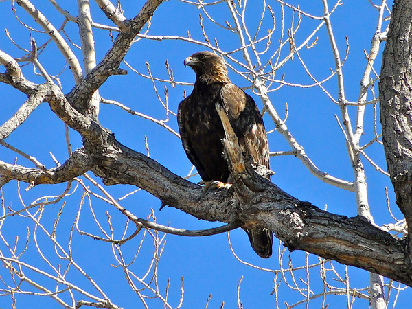 eio golden eagle.jpg A golden eagle perches on some branches of a tree near Lagerman Reservoir.