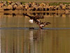 eio eagle 2.jpg Two bald eagles, one adult and one juvenile, battle over a fish the adult had recently caught in Lake Estes.