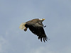 eio eagle flight 2.jpg A bald eagle's powerful wings carry it high above Lake Estes shortly after it left its perch in a dead tree.