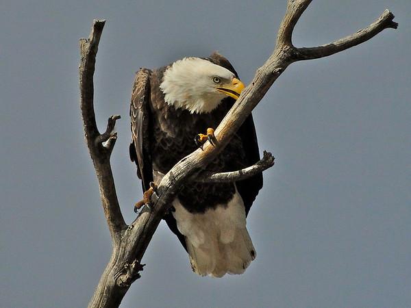 eio bal eagle.jpg A bald eagle perches on a dead snag above Lake Estes.