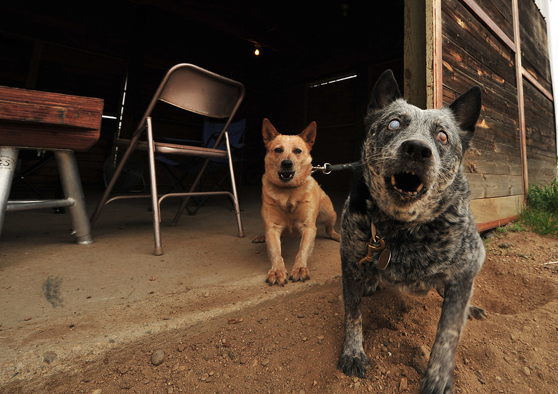 A blind dog and his sighted companion protect the blacksmith shop at the Stanley Fairgrounds on Wednesday.
