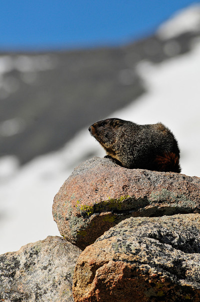 A marmot suns himself on a rock on the alpine tundra. Marmots are one of the largest members of the rodent family.