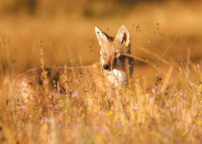 A coyote peeks through flowrs and grass in the national park. The coyote is easily the most adaptable preditor in the area, having spread from the Southwest to almost every state of the union.