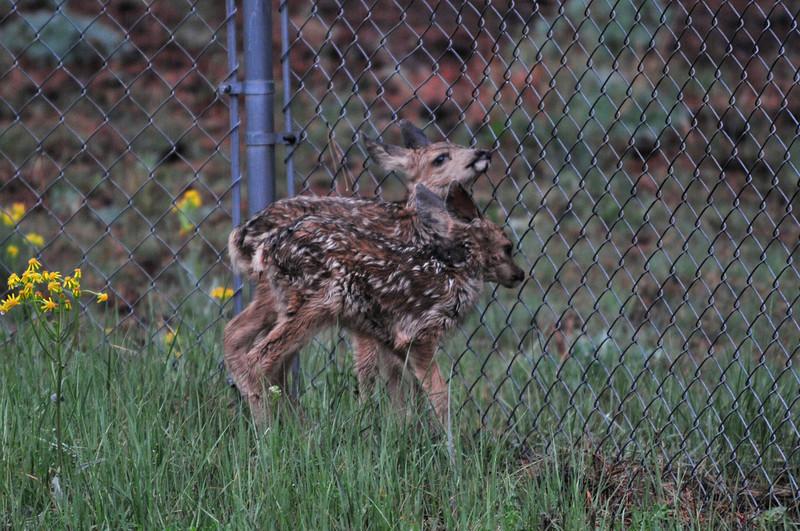 Deer fawns look for their mother through a fence in Carriage Hills in June.