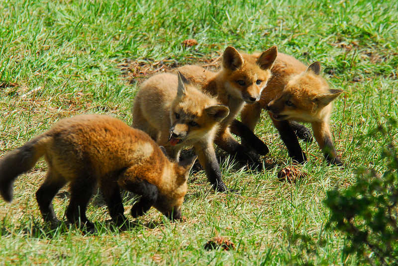 A litter of fox kits plays with each other in spring grass. The small preditors tend to be shy and are often seen on the edges of the day.