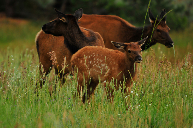 Cows and a new calf wander through an open field in Estes Park. Elk have adapted to living close to humans in Estes Park.