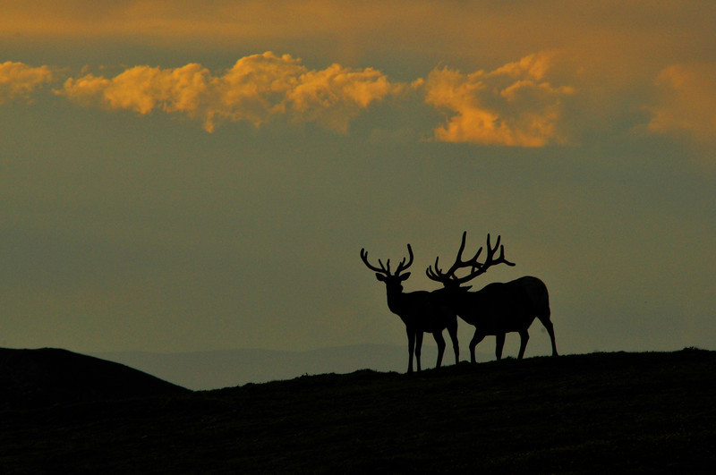 A pair of bull elk jostle along the top of Trail Ridge. Bulls will often congregate along the ridge in summer.