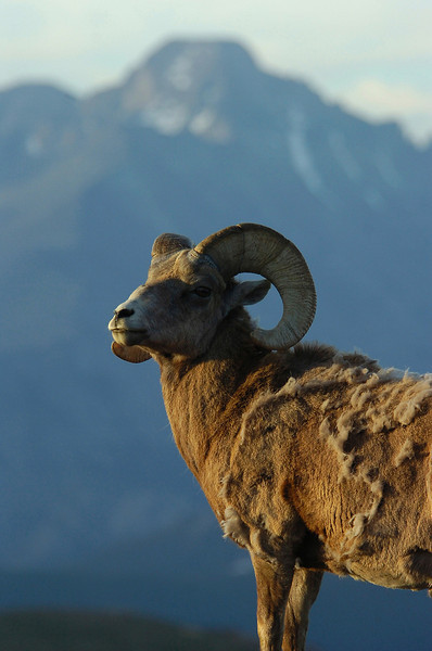 A bighorn ram stands, almost posing, on Trail Ridge Road with Rocky Mountain National Park's other icon, Longs Peak.