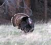 eio strutting  tom bird.jpg A Tom turkey struts his stuff near Sprague Lake in Rocky Mountain National Park.