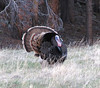 eio strutting  tom bird.jpg A Tom turkey struts his stuff near Sprague Lake in Rocky Mountain National Park.