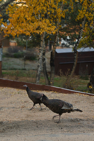 Turkeys run across Marys Lake Road on Sunday morning. Between turkeys and fall color, Estes Park seems prepared for the upcoming holiday season.
