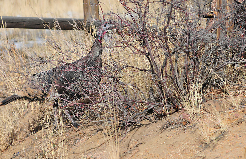 24EP News Turkey on the Lamb.jpg Walt Hester | Trail-Gazette<br /> One of a large group of wild turkeys makes it's way across Mary's Lake Road and under a fence on Friday. While many turkeys won't see next Saturday, these turkeys should be around Estes Park for years to come.