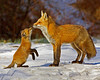 Male Red Fox with Kit