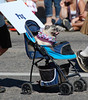A pug gets a ride down Elkhorn Avenue Saturday morning during the 2013 Longs Peak Scottish/Irish Highland Festival Parade.