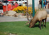 A 7x6 bull elk drew quite a bit of attention before Saturday morning's Longs Peak Scottish/Irish Highland Festival Parade as it grazed on the grass near the intersection of Hwys. 34 and 36.
