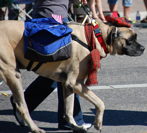 An Elgish mastiff was one of the many breeds of dogs of the British Isles represented in the 2013 Longs Peak Scottish/Irish Highland Festival Parde.