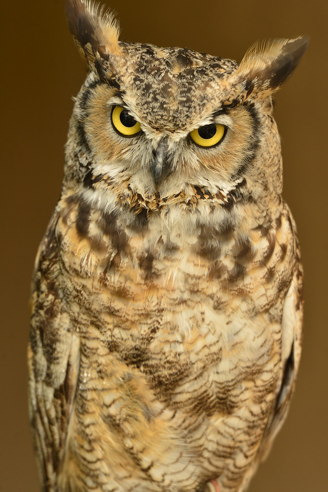 A great horned owl looks serious but relaxed at the Elk Fest on Sunday. The Rocky Mountain Raptor Program brought several majestic birds to educate visitors at the festival.