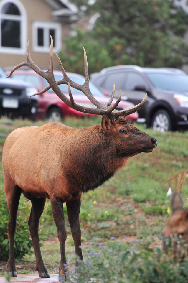 A big bull elk attracts attention at the Stanley Hotel on Friday. The elk are the ceter piece of the weekend with the annual Elk Fest being celebrated in Bond Park.