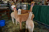 A pen of alpacas at the Labor Day alpaca show.