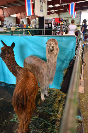 Alpacas come on a variety of shapes, colors and sizes, such as these two who were at the Labor Day alpaca show held at the Fairgrounds at Stanley Park.