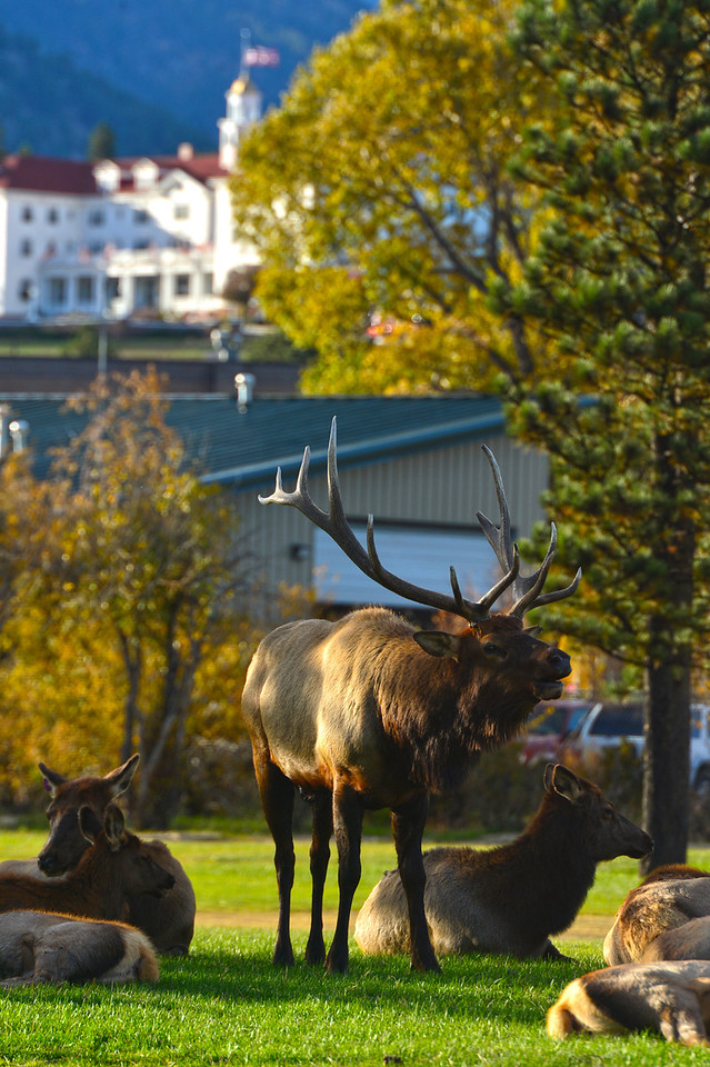 A big bull elk bugles to ward off rivals at the Lake Estes 9-Hole Golf Course on Monday. The close and easy access to the big animals draws many visitors to town and to the fence along the golf course.
