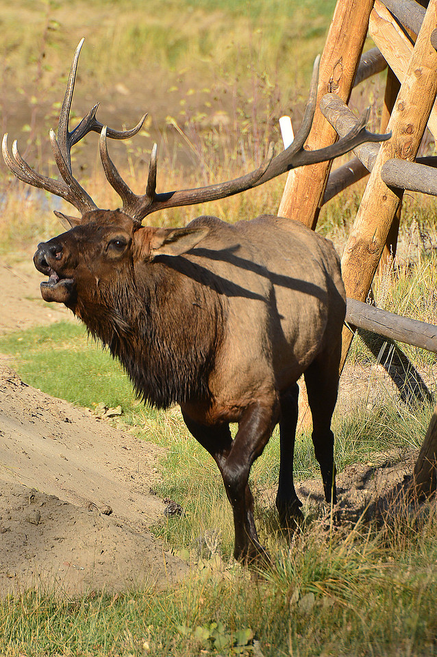 A big bull elk chases a cow while bugling to fend off rivals at the Lake Estes Nine-Hole Golf Course on Monday. The rut attracts plenty of visitors from the Front Range and neighboring states.