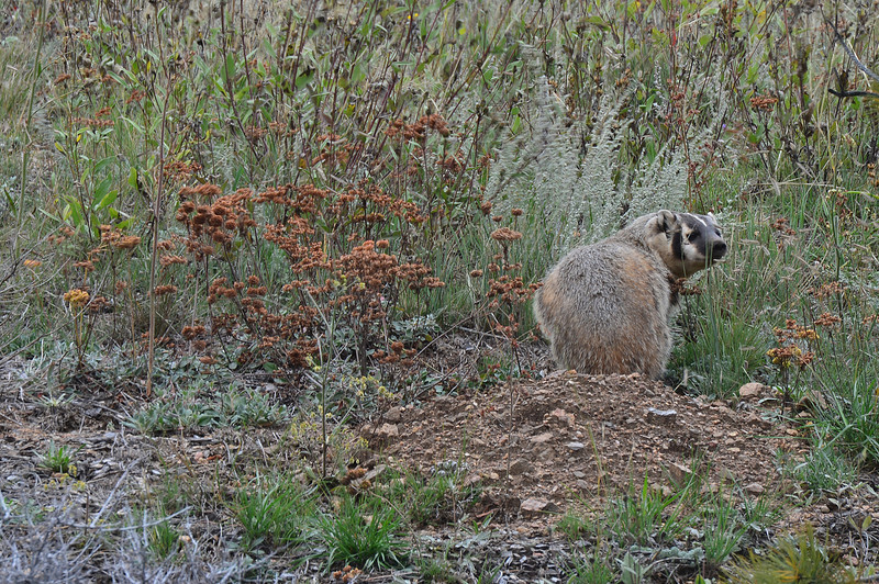 A badger looks around before returning to its search for dinner on Sunday. The reclusive creatures are notoriously tough and even aggressive, meaning not too many predators will mess with it.