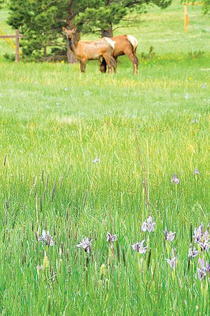 Flora and fauna Wild irises adorn the roadside near Marys Lake on Monday as elk watch passers-by. Photo by Walt Hester