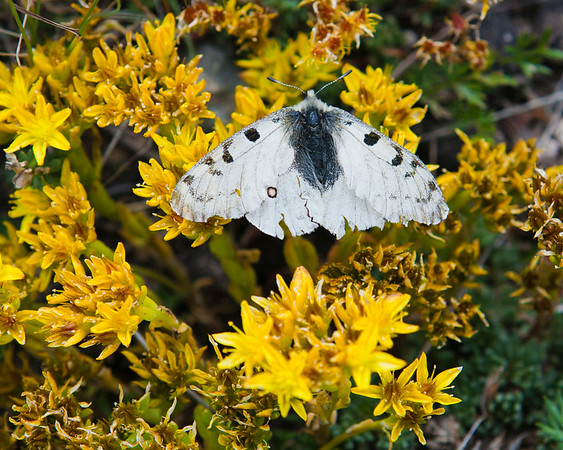 A moth rests on flowing alpine stone crop
