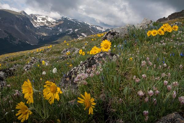 Tundra flowers 8 1 14 file 3 dailycamera tundra flowers 8 1 14 file 3 mightylinksfo