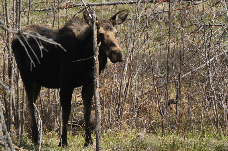 A cow moose keeps an eye out for unwanted visitors near the Pool. The big animals are shy but very protective.