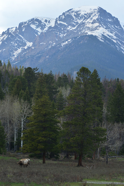 Elk graze in Horseshoe Park as Mount Chapin looms to the west. While rain, snow and cold have clung to the park, the high peaks and Estes Park lately, warmer weather is expected in time fpor the holiday weekend.