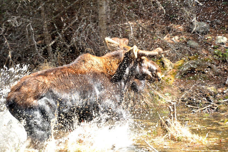 A bull moose splashes away from an angry and protective cow along the Fern Lake Trail. Cow moose will back almost anything to protect their young.