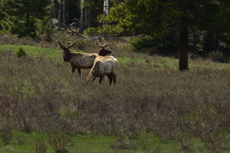 Bull elk remain vigilant while feeding in Horseshoe Park on Wednesday. Rocky Mountain National Park offers a wide range of photo opportunities for visitors, from the large ungulates to the tiny rodents and the rare predators.