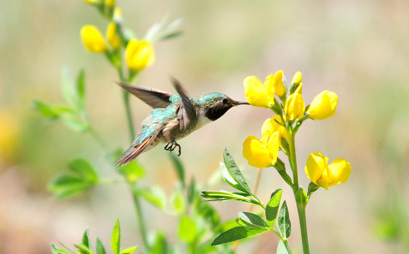 Walt Hester | Trail Gazette<br /> A hummingbird feeds in Moraine Park on Wednesday. The slight birds are a sign of summer in the high country.
