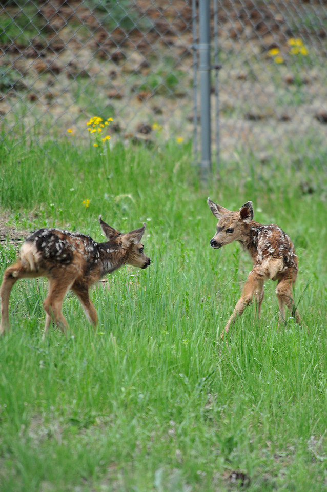 Walt Hester | Trail Gazette<br /> Twin fawns bounce around a yard in Carriage Hills on Monday. The fawns were born Sunday.