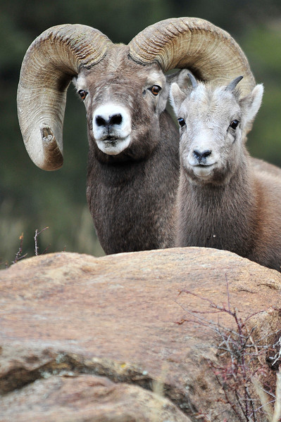 Walt Hester | Trail Gazette<br /> A big old ram watches out for a lamb above Fall River Road on Monday. Old rams will file off the ends of their curls to keep the horns from blocking their peripheral vision.