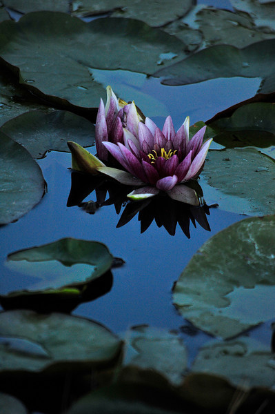 Walt Hester | Trail Gazette<br /> Water lilies decorate a small pond near the Stanley Hotel. The flowers and pads can be seen in many lakes in the Estes Park area.