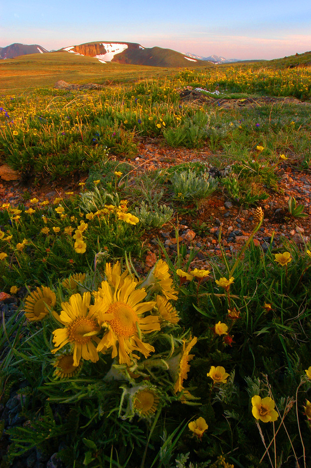 Tundra Flowers line the Alpine Communities Trail above Rock Cut.