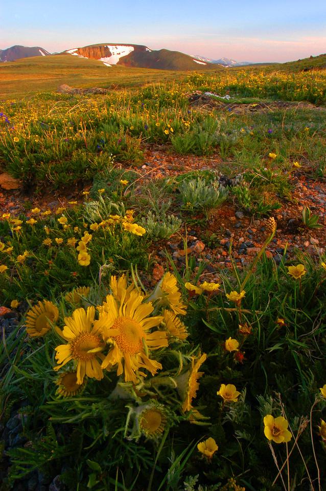 Tundra Flowers line the Alpine Communities Trail above Rock Cut.