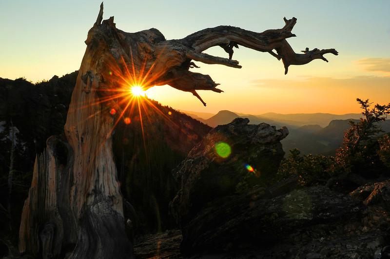 A pine tree leans toward the rising sun above Trail Ridge Road.
